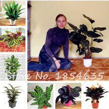 Venta caliente 50 Unids Calathea Semillas Raras Hermosas Flores Semillas de Plantas Bonsai de Escritorio de Oficina de Refrescar el Aire Para Adornos De Jardín de Flores(China (Mainland))