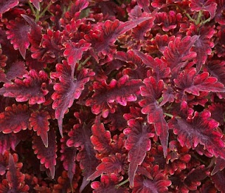 Coleus Red velvet ~ love to plant a large pot with a variety of them in the shade garden!