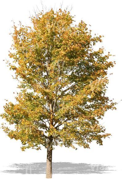 The 25 best Deciduous trees ideas