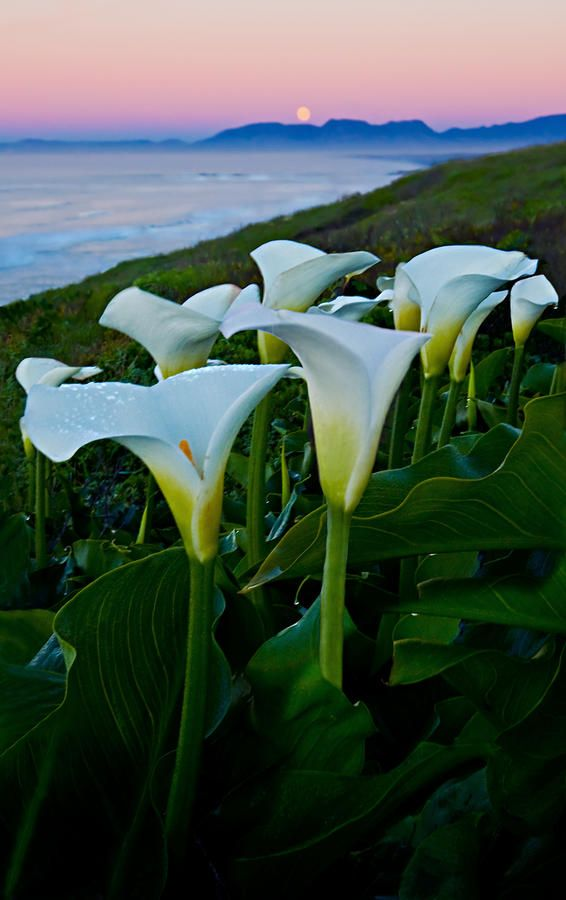 ✯ Arum Lilies under the setting full moon looking over False Bay - S Africa
