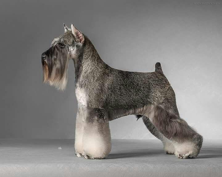 Miniature Schnauzer Hair Styles: 6996 Best Images About Schnauzers, Info & Doggie Stuff On