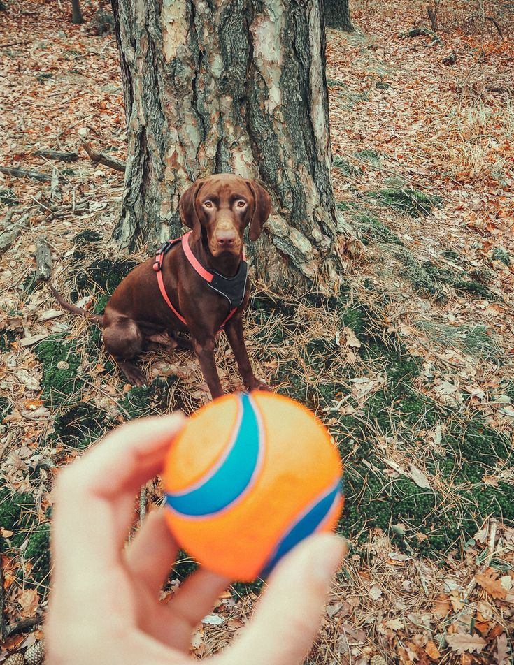 Ballspielen mit dem Hund: Wenn der Mensch nur als Ballwurfmaschine agiert, mutieren viele Hunde zu richtigen Ball-Junkies. In diesem Beitrag verrate ich Dir, wie Du das Ballspiel sinnvoll gestalten kannst.