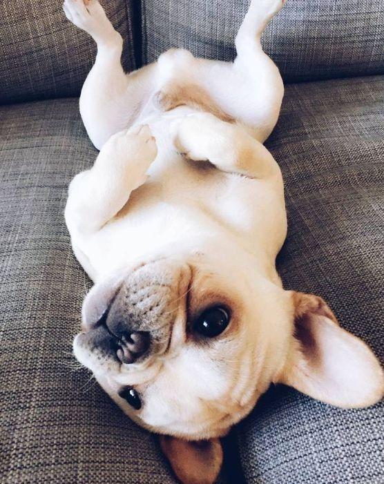 Puppy un adorable cachorro Bulldog Con esta pose tan simpática nos saluda Puppy, un joven Bulldog que tiene mucho que decir en el mundo perruno. Su ternura me llena el alma de un sentimiento de cariño que no puedo controlar, si lo tuviera delante me...