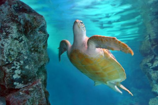 Sea turtle under water swimming towards light