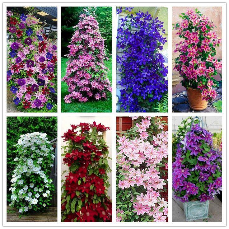 100 pçs/saco Clematis sementes sementes de flores clematis videira perene flor sementes escalada plantas clematis bonsai vaso de planta de jardim