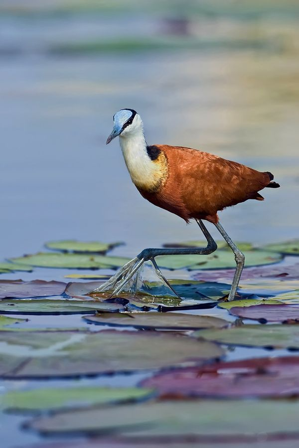 The Jacana has often been described as the  quot Jesus bird quot  for their ability to walk on water   Chobe River  Botswana   Jacana Monet by Marc MOL