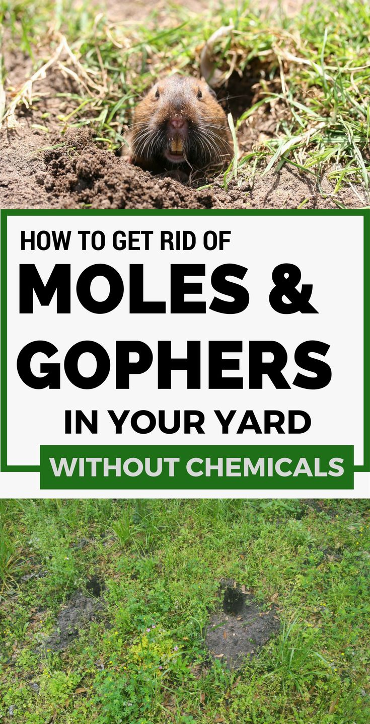 35 best images about moles in yard on Pinterest