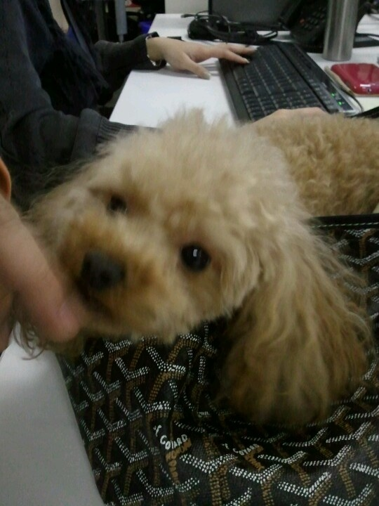 There's a tiny cute dog in my office today: )