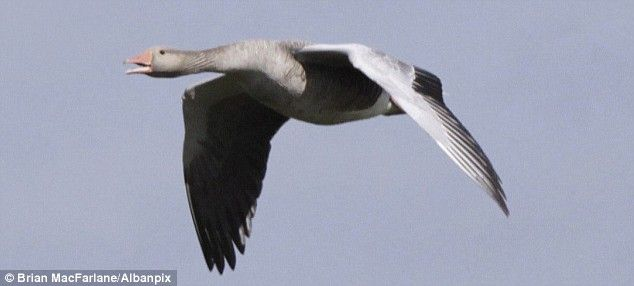 Whiffle down the wind: Pictures show flying goose's incredible ...