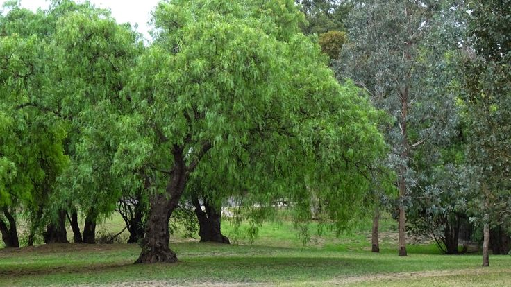 Melbourne street trees, Pepper tree. Peruvian pepper (Schinus molle, also known as American pepper, Peruvian peppertree, escobilla, false pepper, molle del Peru, pepper tree, peppercorn tree, Californian pepper tree, pirul and Peruvian mastic) is an evergreen tree that grows to 15 meters.