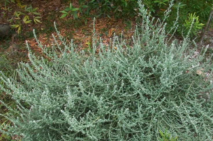 Olearia languinosa 'Ghost Town', an unkillable shrub which thrives in a hot dry…