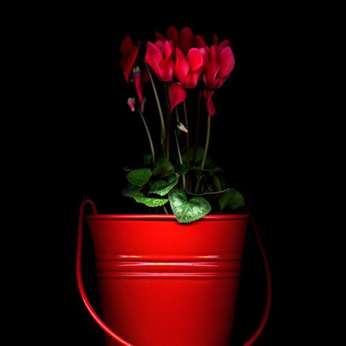 CyclamenRed Pots, Pretty Red, Colors Red, Red Flower, Red Buckets, Red Planters, Things Red, Photos Shared, Red Hot