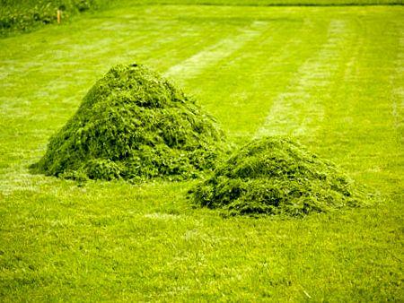  Les tontes de pelouse sont riches en azote et se décomposent assez vite, en 3 à 6 mois. On peut les utiliser pour pailler des cultures courtes comme les laitues, les pommes de terre, les navets, les haricots. Si on paille juste après la tonte, étaler en couche mince, 2 cm maximum. Eviter de faire des petits tas car ils fermentent très vite et se putréfient, et éviter de mettre une couche trop épaisse à la base des plantes. Si on fait préalablement sécher les tontes de pelouse (1 ou 2…