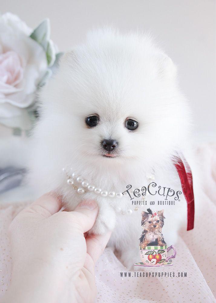 Pomeranian For Sale Florida : pomeranian, florida, Teacup, Puppies, White, Pomeranian, Puppy, Puppy,, Puppies,, Breeds
