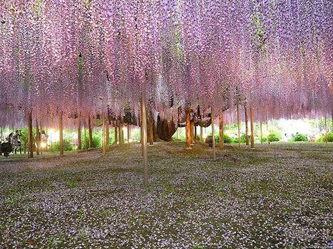 .: Beauty Pictures, Purple Rain, Amazing Photo, Dream, Parks, Landscape Photography, Flower Gardens, Fairies Tales, Wisteria Trees