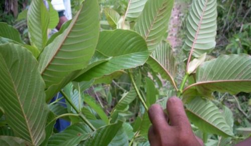 Mitragyna Speciosa Plants For Sale