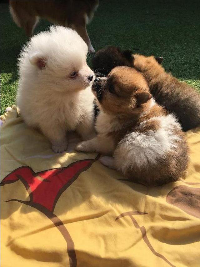 Small type Rare coloured Pomeranian puppies For Sale in Preston, Lancashire | Preloved