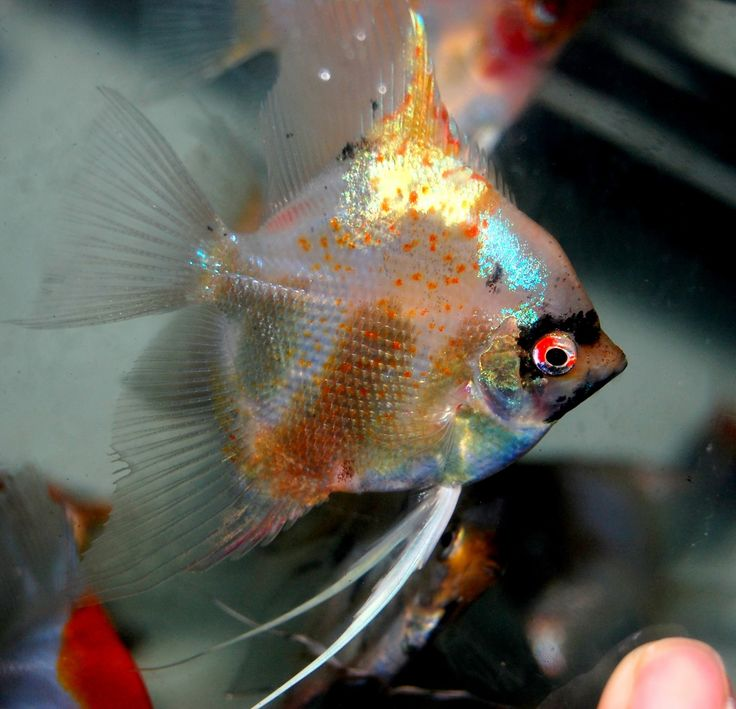 327 best images about fish freshwater angelfish on for Freshwater angel fish