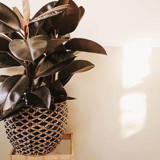 best 20 ficus ideas on pinterest. Black Bedroom Furniture Sets. Home Design Ideas