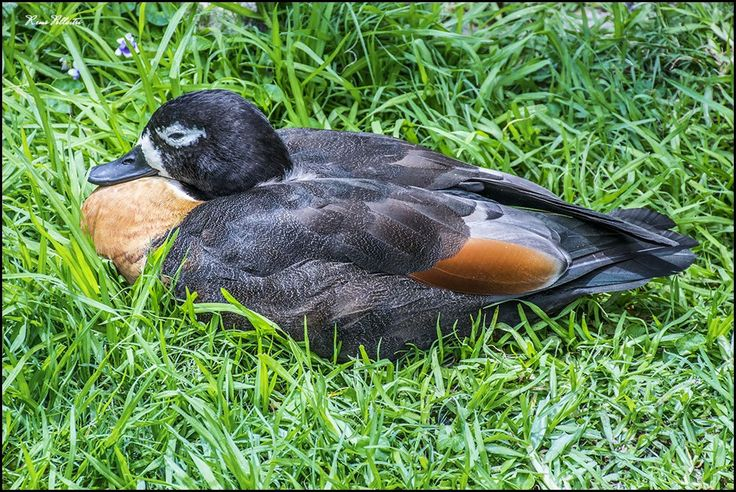 The Australian Shelduck or Mountain duck is a most striking and beautiful waterfowl.