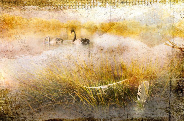 "Artist:  Corrine Davis (NEW ZEALAND) Title: ""Swans On The Lake"" Canvas Size: 24"" x 16"""