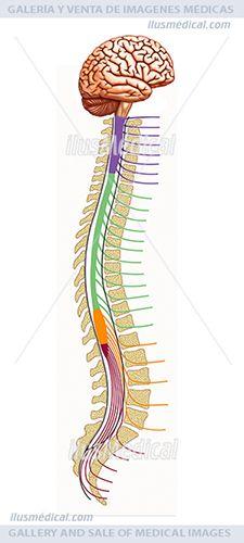 Esquema de la médula espinal. La médula espinal, (interior de la columna ...