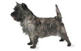 CoolPetZ | Social Pet Network Cairn Teriyer köpek türünün özelliklerini yakından inceleyelim... #köpek #CoolPetZ
