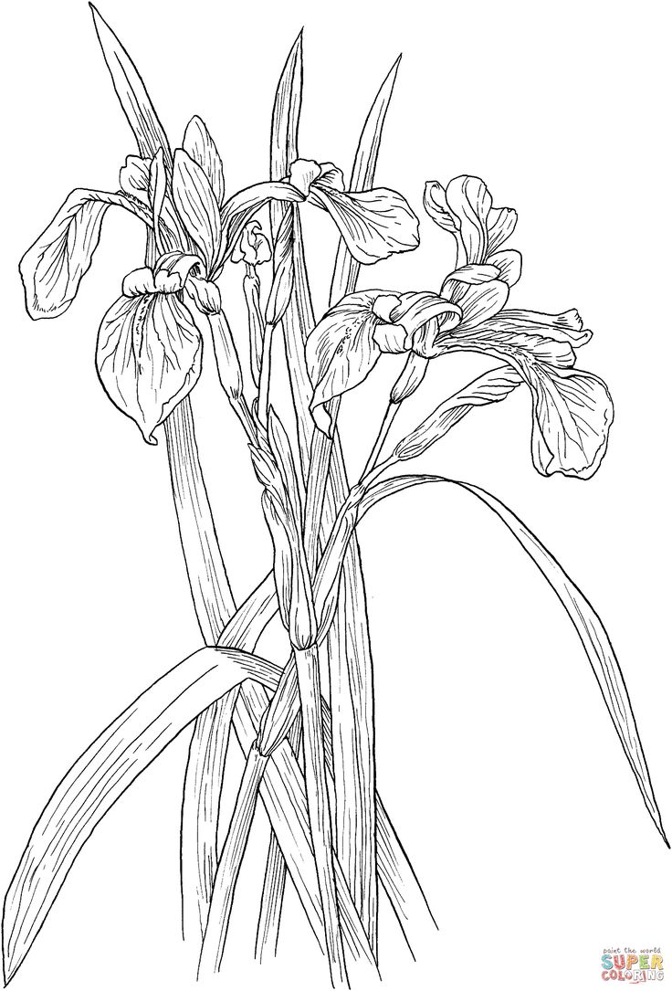 The 222 best flowers drawing of iris images on pinterest blossoms blue flag irises or iris versicolor wildflower coloring page izmirmasajfo