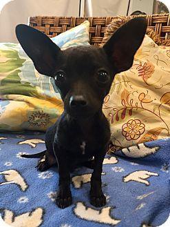 Santa Ana, CA - Chihuahua/Rat Terrier Mix. Meet Franklin, a puppy for adoption. http://www.adoptapet.com/pet/17889366-santa-ana-california-chihuahua-mix