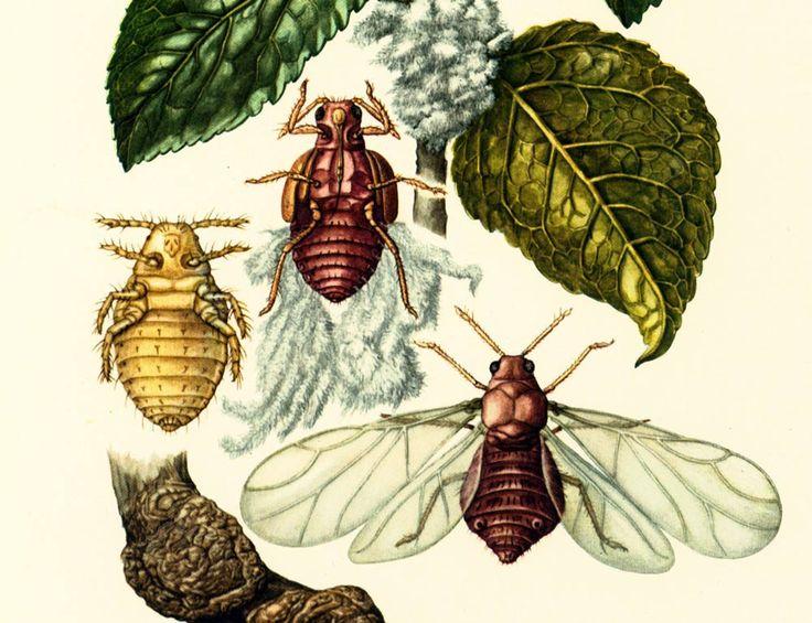1960 Puceron lanigère. Parasites. Illustration Insecte. Aphidiens. Agronomie Planche Identification Originale Entomologie. de la boutique sofrenchvintage sur Etsy