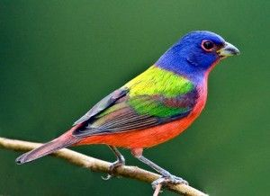 The most colorful bird of our southeast coast is the painted bunting. It is a sparrow sized bird colored red, blue, green, and brown.