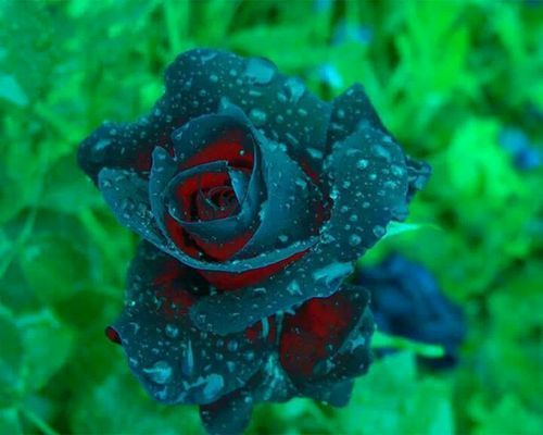 Rare rose flowers pinterest to find out and roses for Buy black and blue roses