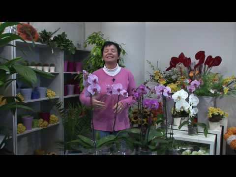 Pestovanie orchideí Phalaenopsis: Ako na to? | Ako a prečo?