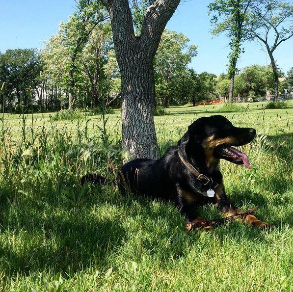 Lounging in the shade at Charleswood Dog Park Club - Winnipeg, MB - Angus Off-Leash #dogs #puppies #cutedogs #bigdogs #winnipeg #manitoba #dogparks #angusoffleash