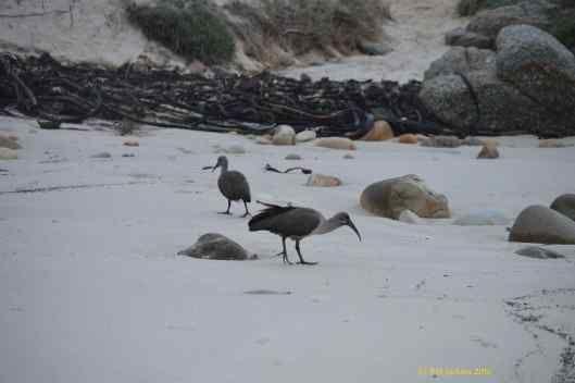 Hadedas on the beach