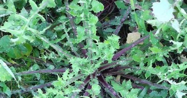 Άγριο χόρτο Ζοχός ή ζόχια: Κάνει θαύματα!
