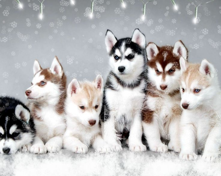 Holiday Husky Puppies!