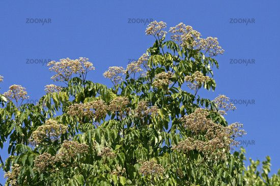 Photo Euodia hupehensis, Tetradium hupehensis, Tetradium daniellii, bee tree Image #246018