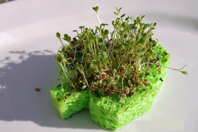 Sponge Sprouts--See how kids can make sprouts grow out of a sponge.: Crafts For Kids, Stpatricks, St. Patrick'S Day, Sponge Sprout, St Patrick'S Day, St Patricks, Shamrock Sprouts