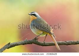 Image result for Cape robin-chat