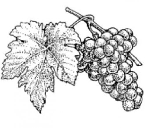 Drawing A Picture Of Grapes Image