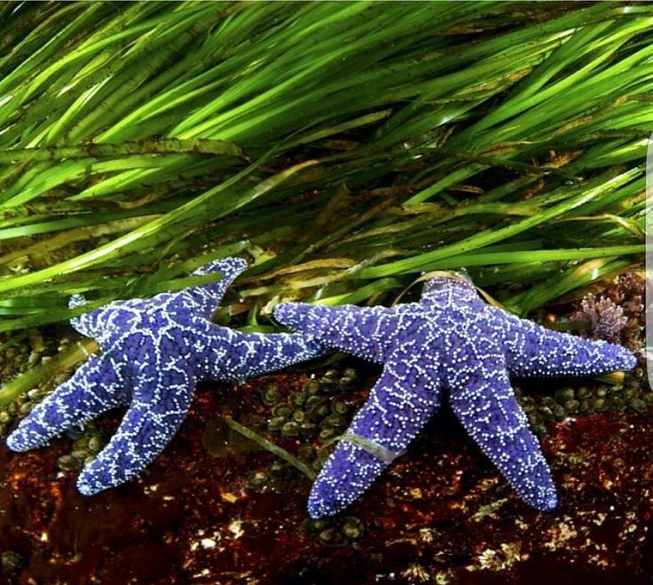 Purple Sea Stars