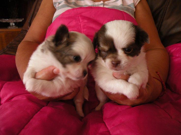 Hankiny 4 týždňový psi