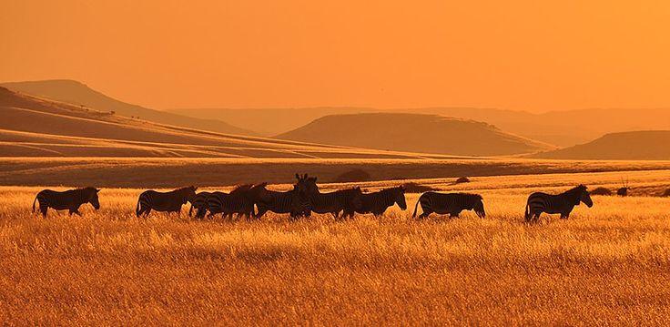 Namibia – Explore Sossusvlei, Etosha, Damaraland, Skeleton Coast | Wilderness Safaris herd of Zebra in the grasslands