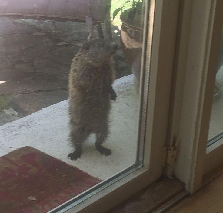 Baby groundhog or peeping tom?