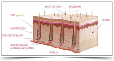 1000 images about hair follicle drawings on pinterest. Black Bedroom Furniture Sets. Home Design Ideas