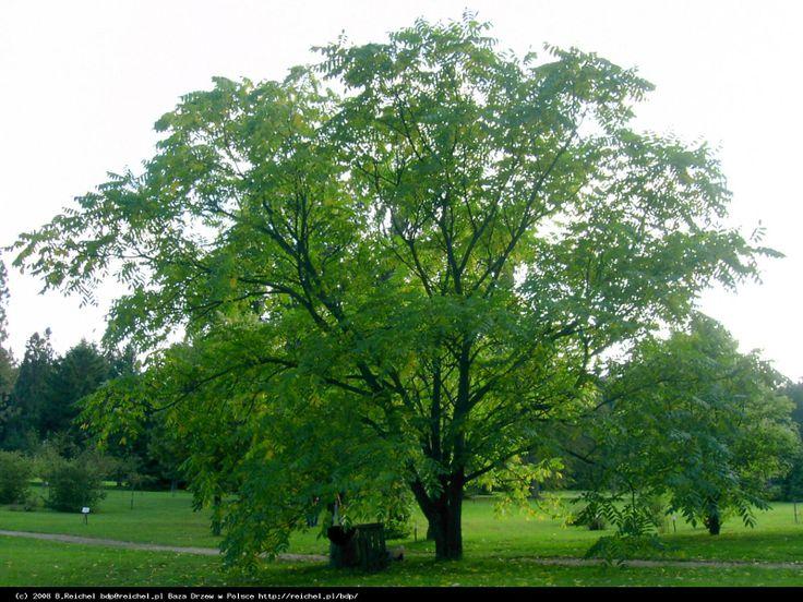 Baza Drzew w Polsce - Orzech mandżurski ( Juglans mandshurica )