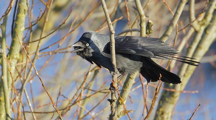 Rufende Dohle - Vogel des Jahres 2012 von Canon-Peter