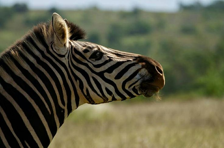 Our wildlife research unit interns get the opportunity to work hands on with some of Africa's most iconic animals. Zebras are social animals and make great photography subjects, either on their own or with their herd.