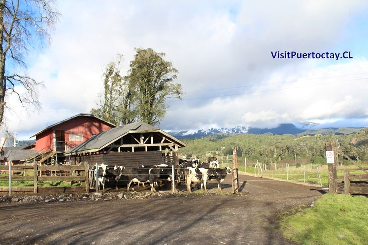 Puerto Octay, destino de Paisajes que nos muestras las actividades propias del Campo.